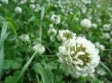 Clover Bloom