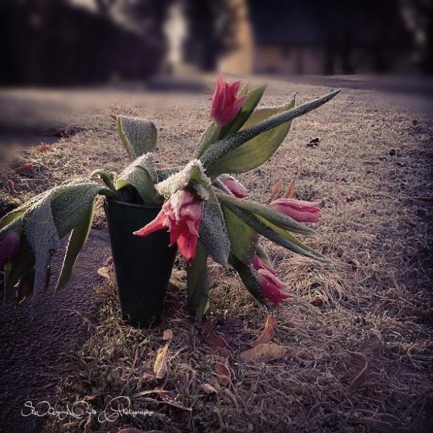 sad tulips