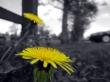dandelions 2